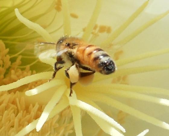 Bee on San Pedro flower